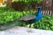Iberostar-Paraiso-Lindo-Peacock