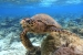 Raffles-Maldives-Meradhoo-Sea-Turtle