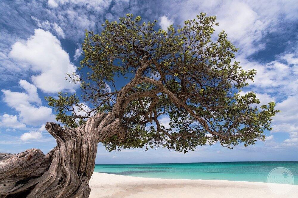 Beautiful Aruba Tree on the beach with the ocean the background
